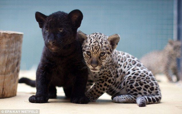 Cute: These Jaguar cubs were born at Berlin Zoo recently. Their mother 'Kiara,' took care of the young animals in a sleeping box for the first six weeks: Big Cat, Animal Pictures, Animal Kingdom, Funny Animal Pics, Berlin, Leopards Cubs, The Zoos, Jaguar Cubs, Coats