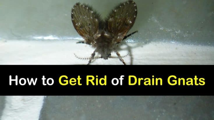 Pin On Getting Rid Of Drain Gnats
