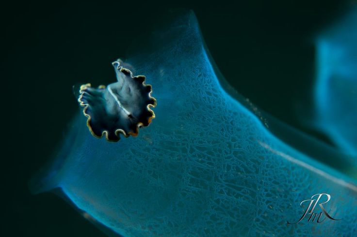 """When I'm feeling BLUE.""  Flatworm on an tunicate at Lembeh Resort house reef.  by Miguel Ribeiro   #lembeh #diving #underwaterphotographer"