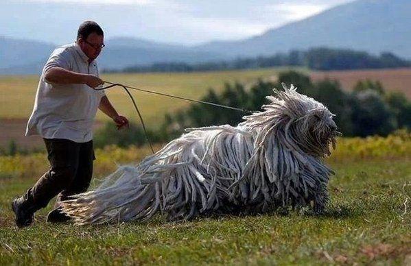 Венгерская сторожевая собака породы командор