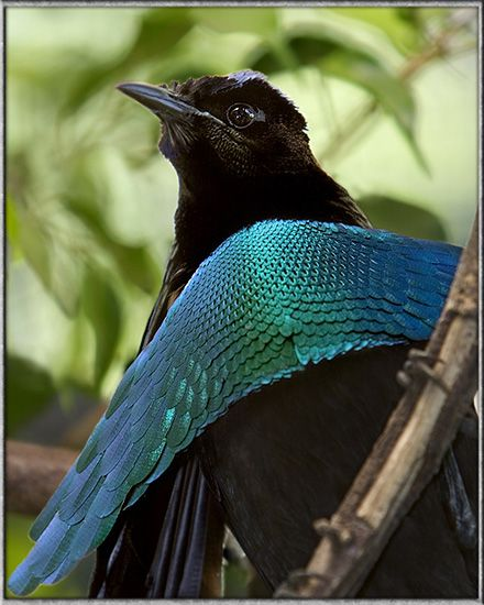 superb bird of paradise    one of my favorite birds