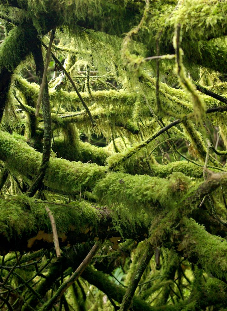 Entwined moss covered tree roots, at Trevaylor Woods near Penzance,  Cornwall