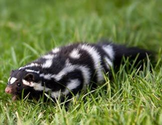 Spotted Skunk. I saw a mama and two babies like this when I was a kid.