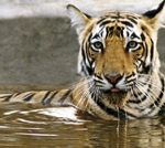 Ranthambore National Park-130 km from Jaipur and you can see tigers!
