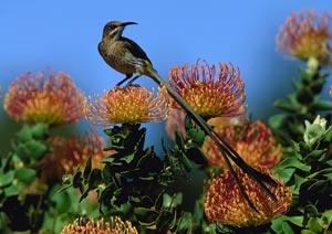 Fynbos, South Africa
