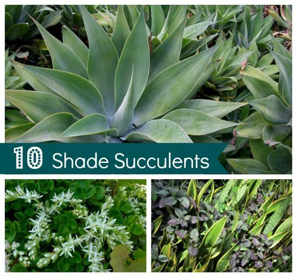 10 Shade Succulents Drought Tolerant Garden Drought Tolerant Garden