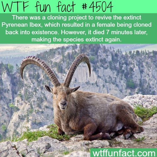 Pyrenean Ibex - Extinct, Brought back, ...7 minutes later, Extinct!    ~WTF!?! weird & not-so-fun-fun facts