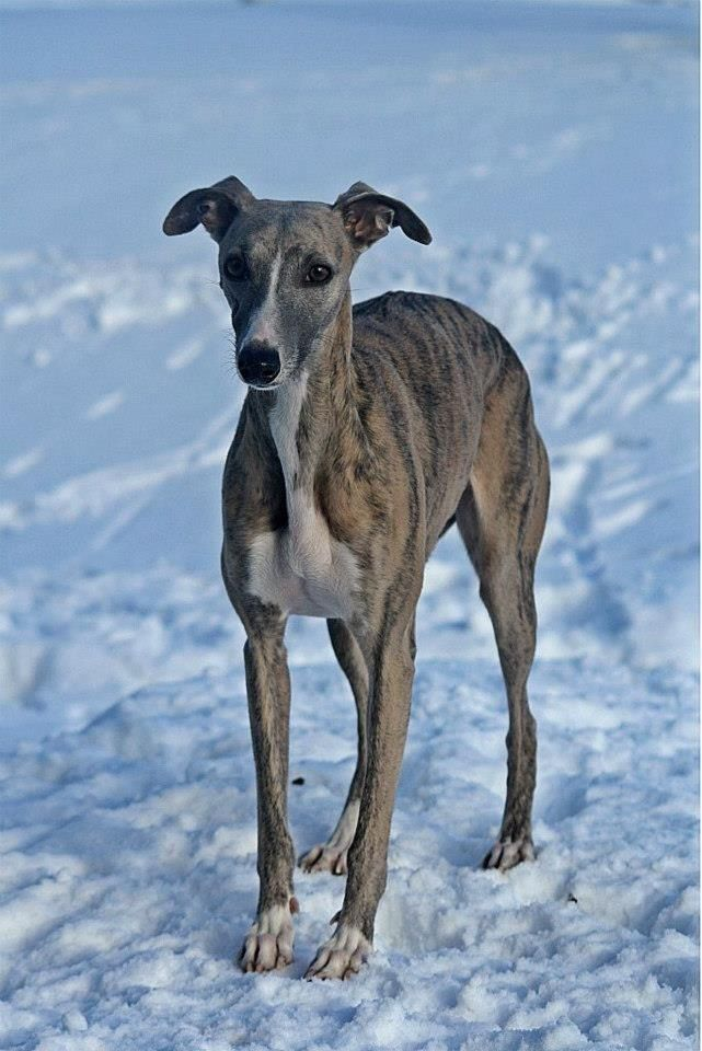 I Heart Whippets Facebook My baby! Glossy Whippe...