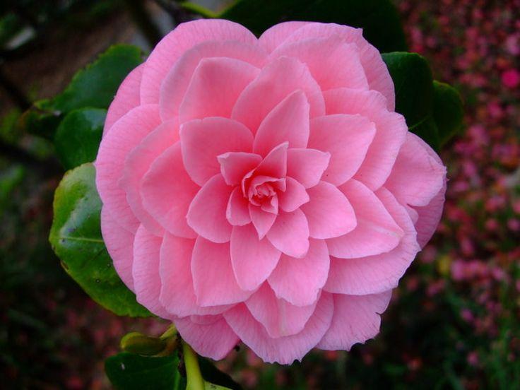 https://flic.kr/p/22tP2ZJ | Camellia | www.youtube.com/user/yewmchan/videos