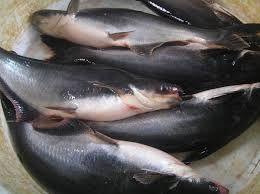 Cara Budidaya Ikan Patin Terlengkap Bisnis Menguntungkan