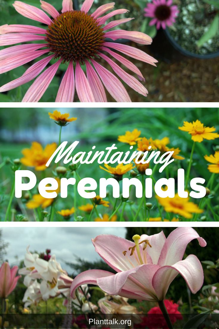 Maintain your perennials to prolong flowering season.
