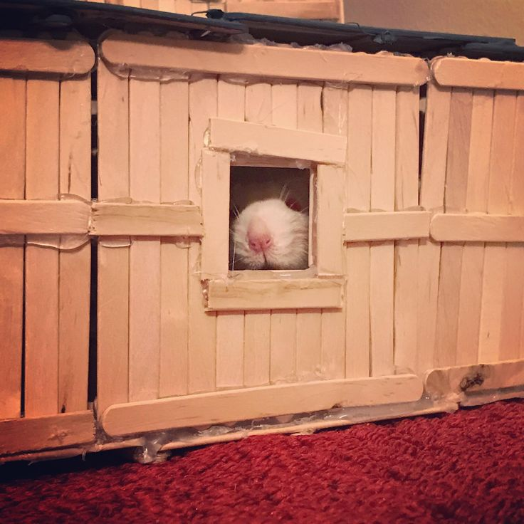 Who goes there?!? What's the password?!? The secret handshake?!? Who sent you?!? ...Do I smell yogies? #aww #cute #rat #cuterats #ratsofpinterest #cuddle #fluffy #animals #pets #bestfriend #ittssofluffy #boopthesnoot