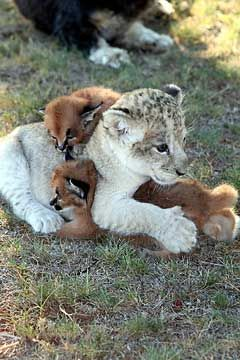 Sheba, a lion cub, cuddles up with caracal kittens Jack and Jill, in South Africa's Pumba Private Game Reserve Rehabilitation Center
