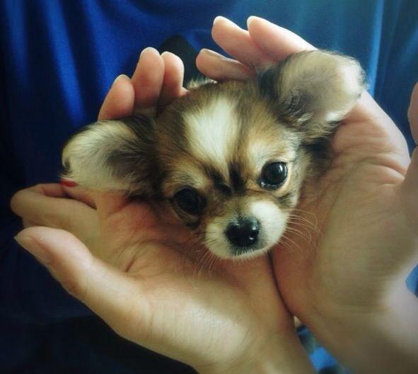 jewelry online australia baby chihuahua