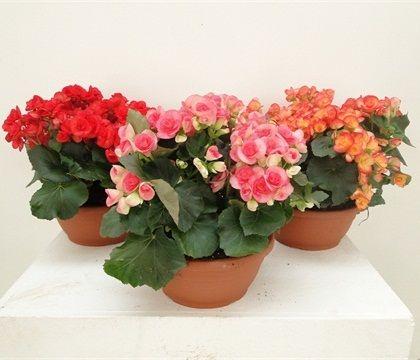 BEGONIA CIOTOLA MIX  Florpagano di Antonio Pagano (piante e fiori) www.florpagano.com