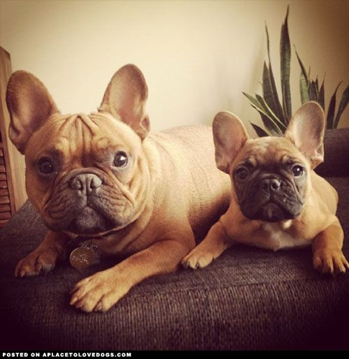 aplacetolovedogs: Two of the cutest French Bulldogs, Charlie...