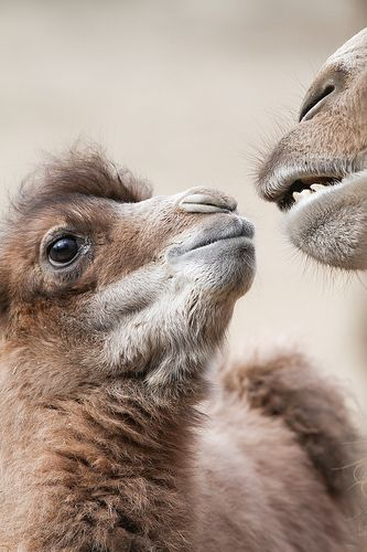 Baby Camel and Mom