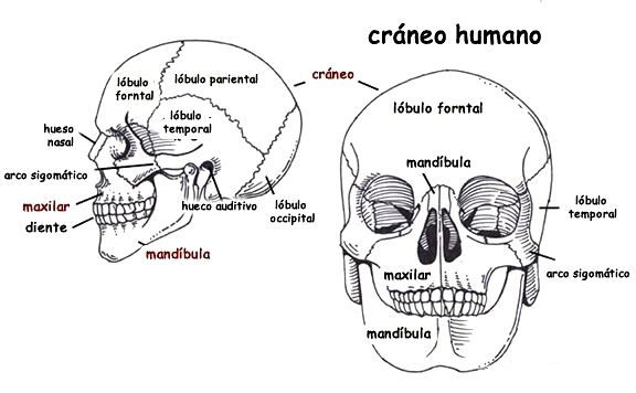 Resultado De Imagen Para Craneo Humano Y Sus Partes Craneo