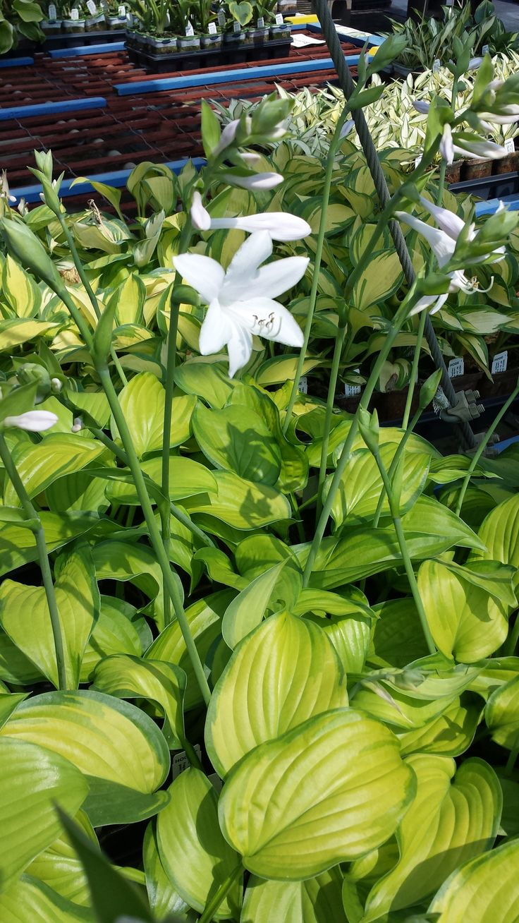 Hosta Guacamole - more of these in the yard please