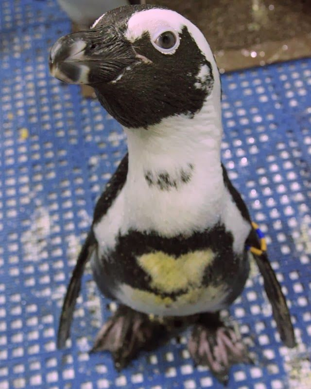 Now here's a penguin that wears his heart on his sleeve. Actually, his chest. #NewEnglandAquarium