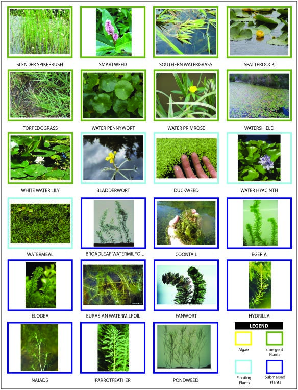 17 best images about algae aquatic weeds on pinterest for Pond fish identification