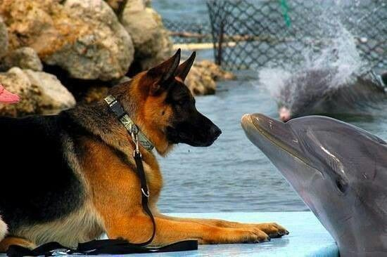 GSD and dolphin.