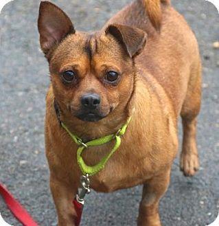 Gloucester, MA - Chihuahua/Dachshund Mix. Meet NeNe, a dog for adoption. http://www.adoptapet.com/pet/17829711-gloucester-massachusetts-chihuahua-mix