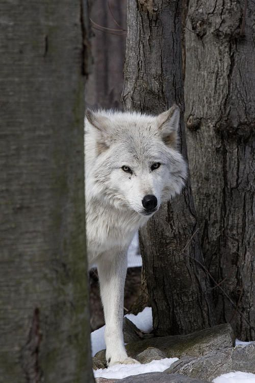 ☀Timber wolf by Jeff Grabert shy, but here