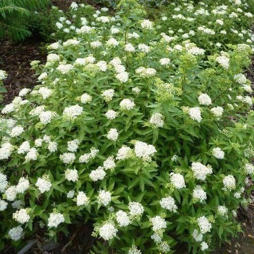 Спирея японская Albiflora Лучше развивается на солнечных местах или в небольшой полутени. В тени слабо цветёт, и побеги медленней одревесневают. Выносит все садовые почвы, но больше предпочитает плодородные умеренно влажные, дренированные почвы слабокислой и нейтральной реакции. Посадка в защищенных от ветра местах. Высаженные растения требуют затенения от яркого солнца. Рекомендуется ежегодная весенняя обрезка для того, чтобы кусты были более компактными и для образования более мощных…