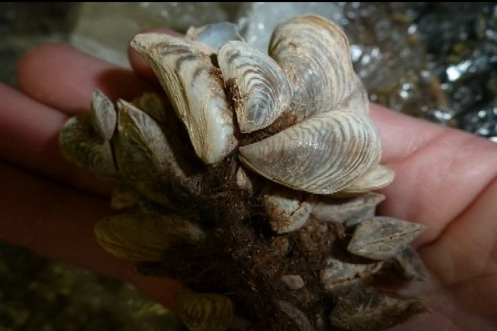Inspection catches dead invasive mussels in B.C.