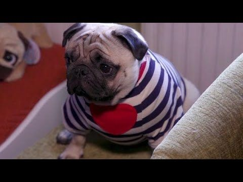 Pampered pugs have an enviable wardrobe