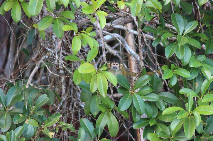 Hallo little monkey, jungle in Peru.