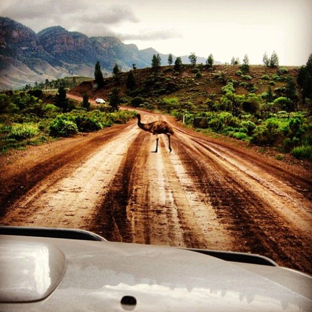 Emu Crossing Flinders Ranges NP South #Australia .   by swannysa (instagram)