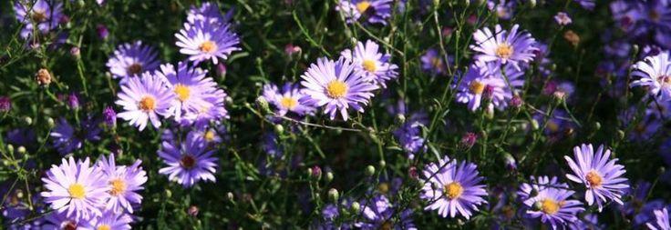 Plant Ident - Aster turbinellus