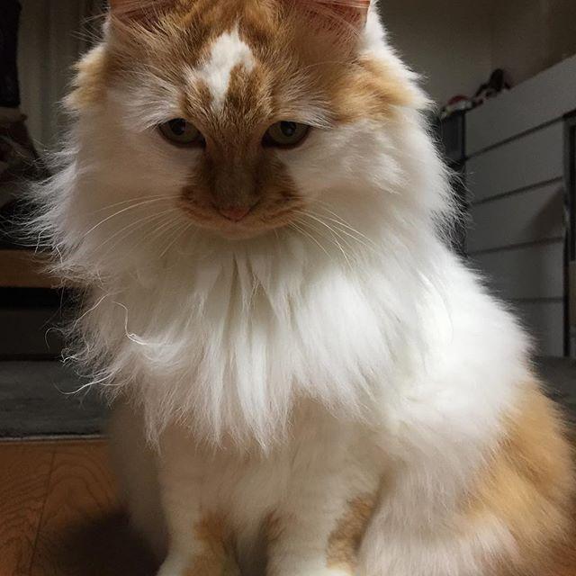 #cat #catstagram #catoftheday #catsofinstagram #instagramcats #catoftheday #lovekittens #catlover  #ilovecat  #ilovemycat#catstagram #instacat #instacats #kawaii_cat#nyaspaper#猫好きさんと繋がりたい#愛猫 #保護猫#もふもふ#ふわもこ部#ねこ部#にゃんすたぐらむ#にゃんこ#ねこ#ねこまみれ#みんねこ#猫エイズキャリア