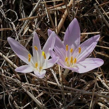 Colchicums, flowering on our terraces now (October)