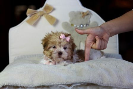 Tiny Havanese Shih Tzu Mix Dora For Sale Www Teacuppuppiesstore Com 954 353 7864 Havan Morkie Puppies For Sale Puppies For Sale Puppy Store