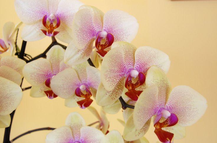 1000 imagens sobre orqu deas phalaenopsis videos no - Cuidar orquideas en casa ...