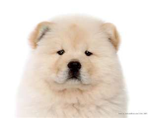 Blond Chow Chow puppy