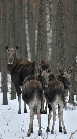 W Białowieży są też łosie / Moose in Białowieża Forest