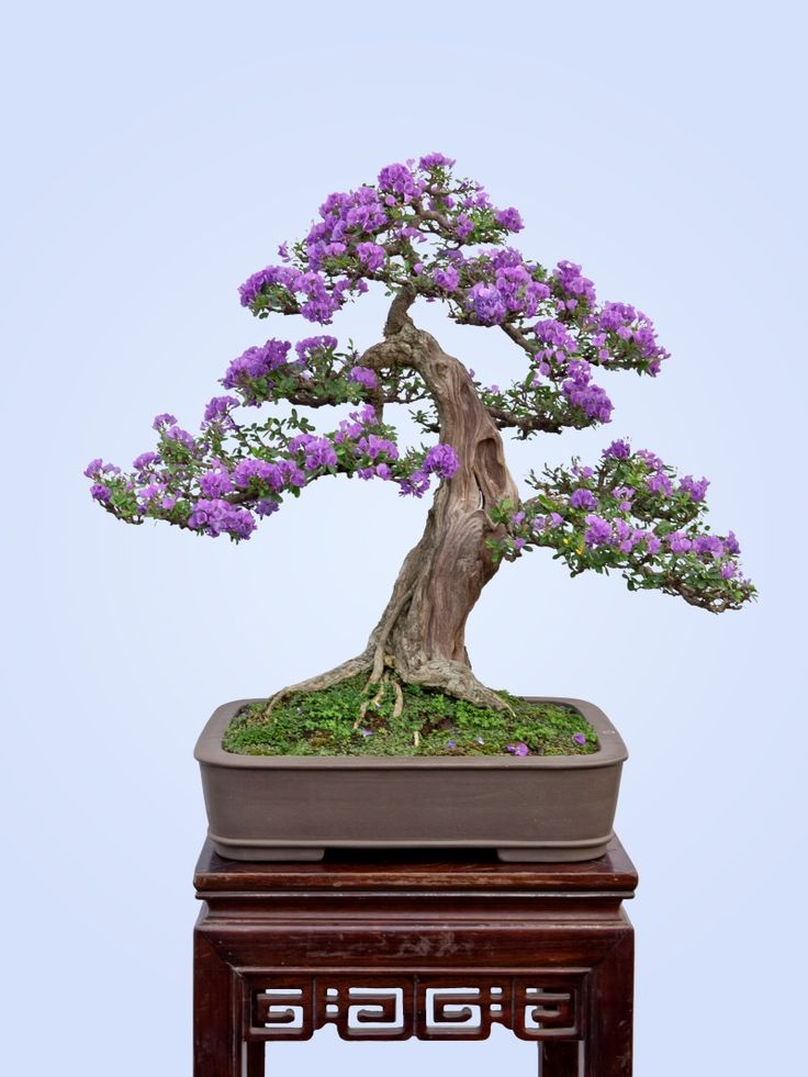 4515 besten bonsai bilder auf pinterest bonsai for Bonsai pflanzen