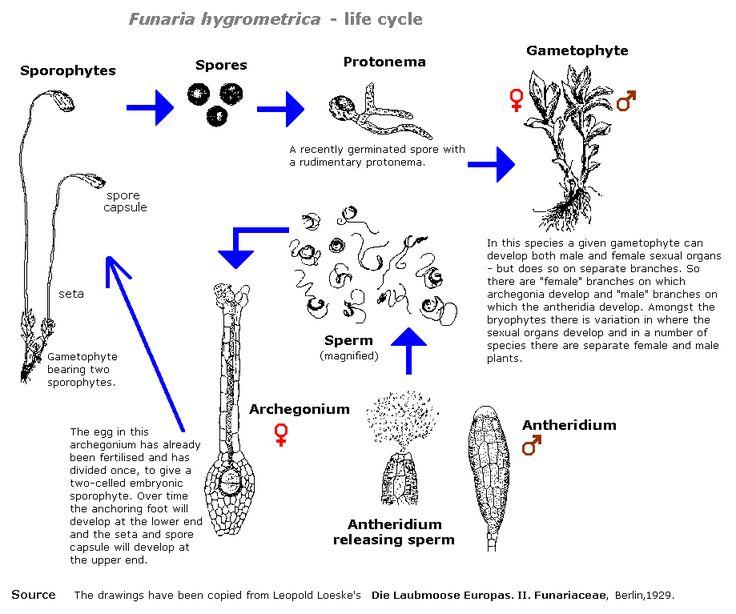 anbg gov au  bryophyte  illustrations  life