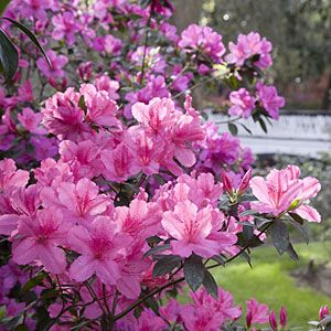 Azalea Bush via Southern Living's Essential Southern Plant --- Already have one near the back door (northwest corner of house). Not sure if it's pink or orange, but it's small enough to transplant...  Move to rear pet flower bed?