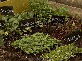 siembra, trasplante, mantenimiento y cosecha