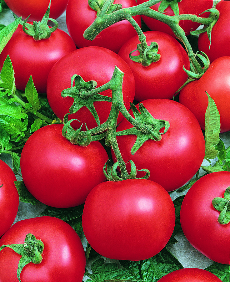 Best Boy Produces Big Red Tomatoes Ounces In Size On A Compact Plant That  Is Great For Small Gardens And Containers.