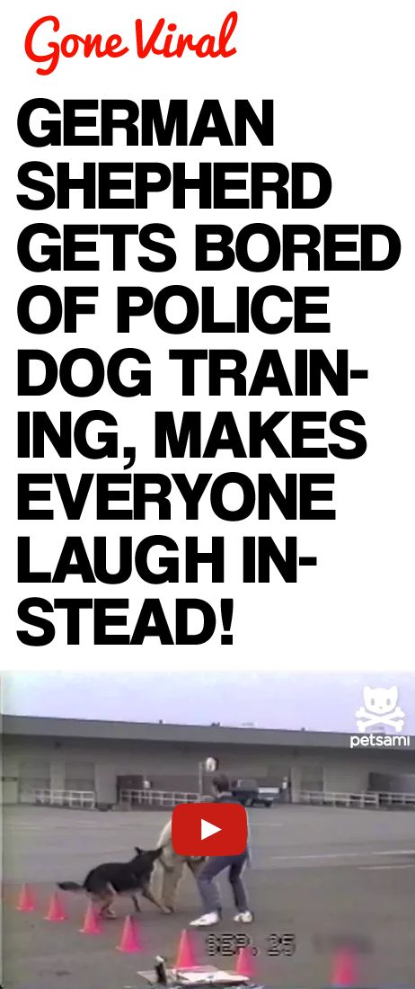 German Shepherd Gets Bored of Police Dog Training, Makes Everyone Laugh Instead!