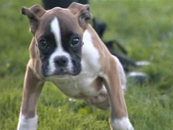 duncan lou chiot boxer a deux pattes 3   Duncan Lou chiot boxer à deux pattes   video prothese handicap Duncan Lou chiot chien chaise roulan...
