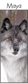 Visit the wolves in Golden BC