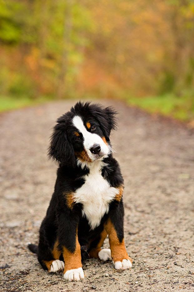 "Cute Amazing Bernese Mountain Dog - The Bernese Mountain Dog, called in German the Berner Sennenhund, is a large breed of dog, one of the four breeds of Sennenhund-type dogs from the Swiss Alps. The name Sennenhund is derived from the German Senne (""alpine pasture"") and Hund (""dog""),"