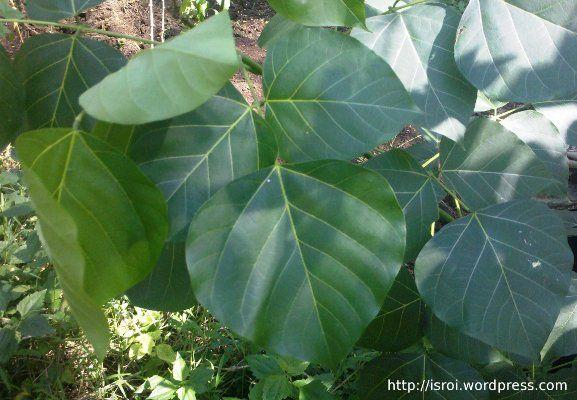 Daun dadap srep untuk kompres anak yang demam atau panas tinggi. Dadap srep adalah salah satu tanaman herbal warisan leluhur.
